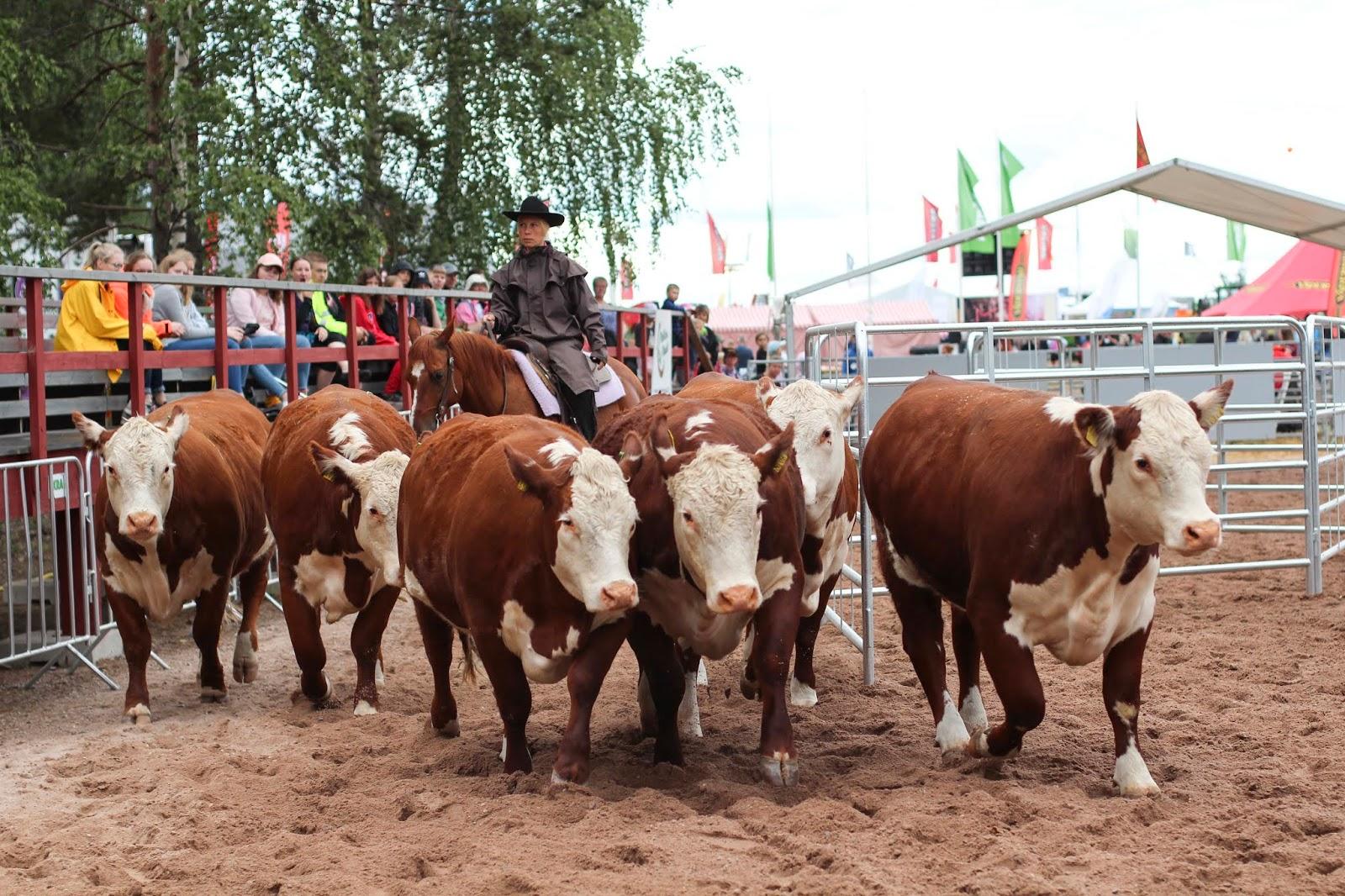 Lännenratsastus on saanut alkunsa karjatyöskentelystä. Okrassa 2019 esiteltiin karjanpaimennusta hevosten kanssa kahdesti päivässä. Sanna Liimatainen antaa hiehoille painetta ja saa ne liikkumaan pois kujasta.