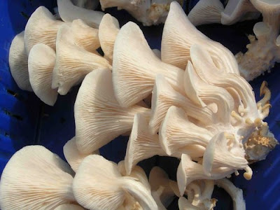 Mushroom Supplier Company in Indore