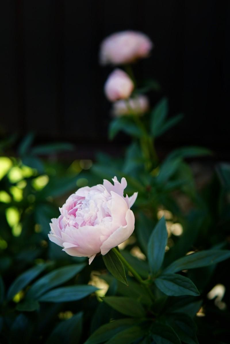 Pioni Sarah Bernhardt upea kerrottu kukka