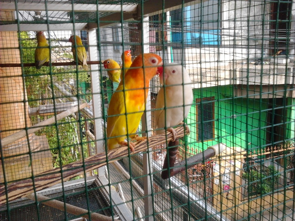 Dijual Burung Love Bird Berbagai Jenis Penangkaran