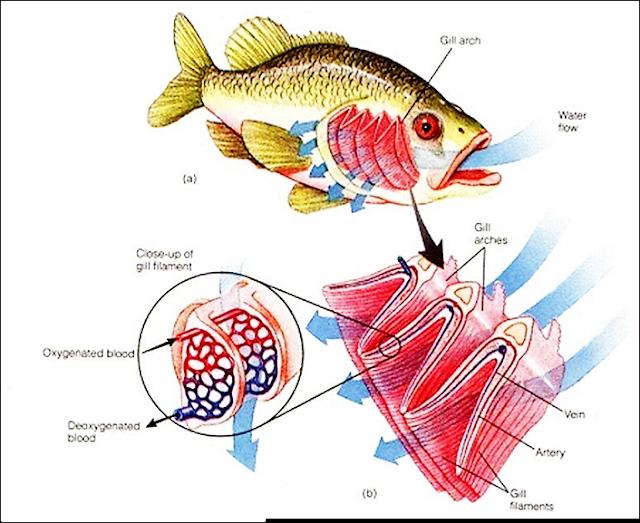 Gambar Pernapasan Ikan Beserta Bagian - Bagiannya ...