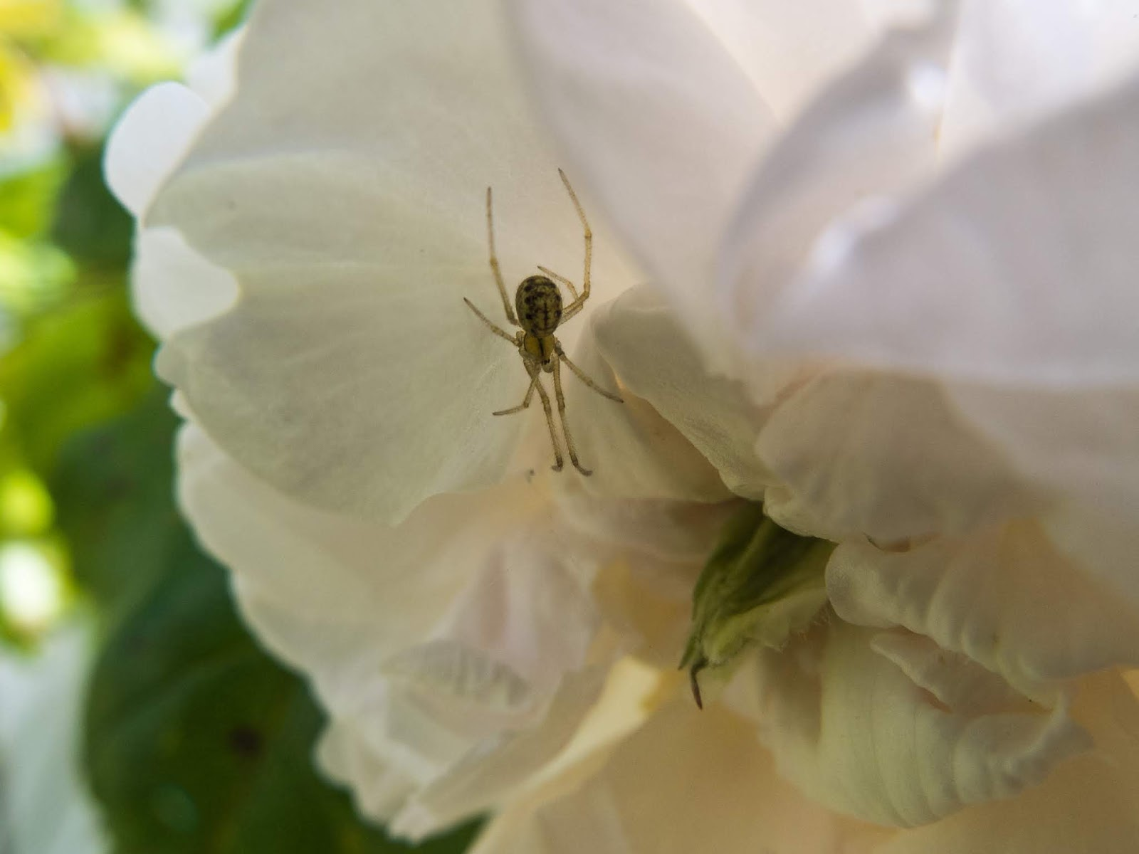 A close up of a small spider inside a White Rose.