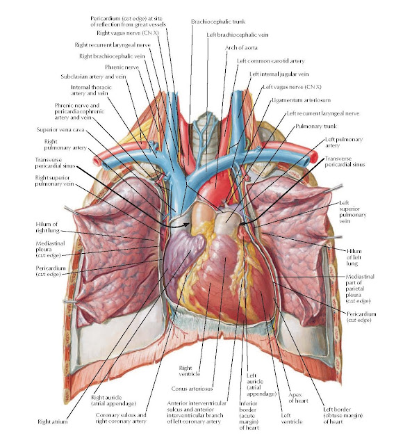 Heart: Anterior Exposure Anatomy Pericardium (cut edge) at site of reflection from great vessels, Right brachiocephalic vein, Phrenic nerve, Subclavian artery and vein, Internal thoracic artery and vein, Phrenic nerve and pericardiacophrenic artery and vein, Superior vena cava, Right pulmonary artery, Transverse pericardial sinus, Right superior pulmonary vein, Hilum of right lung, Mediastinal pleura (cut edge), Pericardium (cut edge), Left brachiocephalic vein, Arch of aorta, Left common carotid artery, Left internal jugular vein, Left vagus nerve (CN X), Ligamentum arteriosum, Left recurrent laryngeal nerve, Pulmonary trunk, Left pulmonary artery, Transverse pericardial sinus, Left superior pulmonary vein, Hilum of left lung, Mediastinal part of parietal pleura (cut edge), Pericardium (cut edge), Left border (obtuse margin) of heart, Apex of heart, Left ventricle, Left auricle (atrial appendage), Right atrium, Right auricle (atrial appendage), Coronary sulcus and right coronary artery, Right ventricle, Conus arteriosus, Anterior interventricular sulcus and anterior interventricular branch of left coronary artery, Inferior border (acute margin) of heart, Right vagus nerve (CN X), Right recurrent laryngeal nerve.