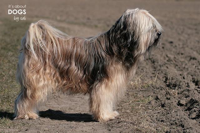 Tibet Terrier Chiru frisch gebadet beim Spaziergang