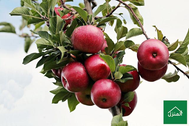 زراعة شجرة التفاح في البيت