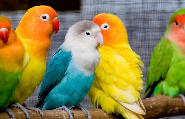 15 Cara Membedakan Lovebird Jantan dan Betina