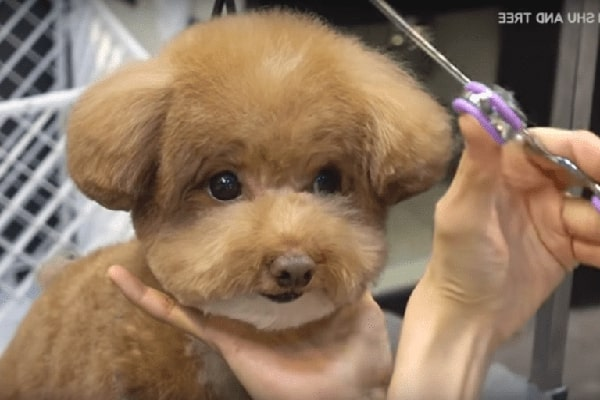 Young puppy With 'Milk On The Chin' Gets A Trim At The Groomer's As well as Over 3M Have Actually Seen