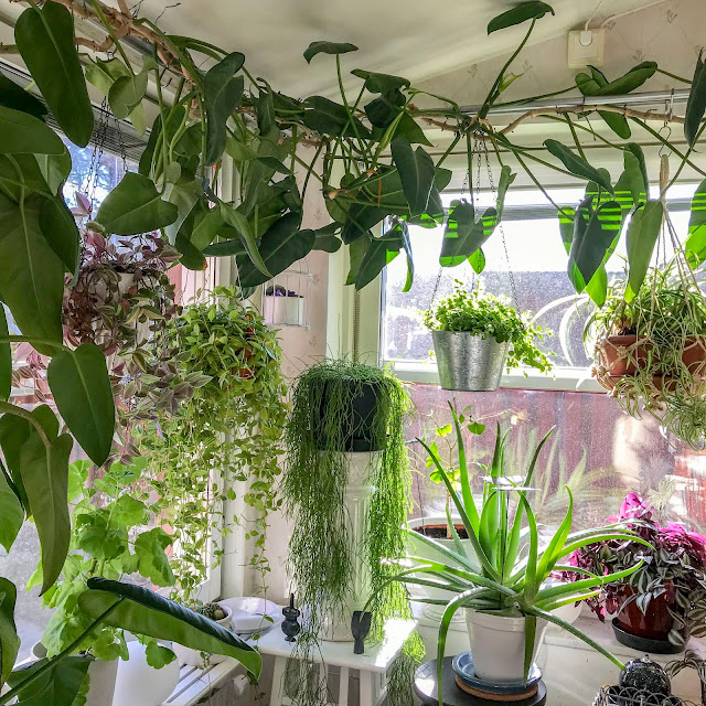 köksfönster, växtgardin