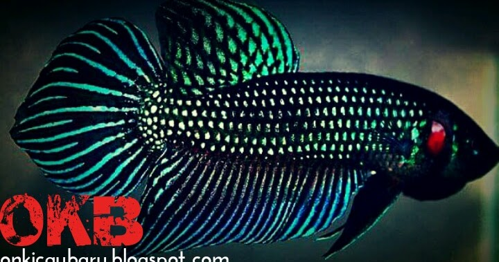 Cara melatih ikan Cupang aduan agar ganas dan selalu ...