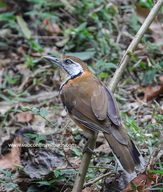 Greater necklaced laughingthrush(Garrulax pectoralis)