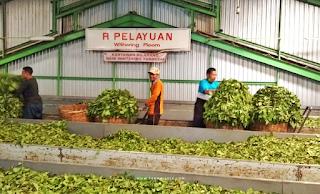 pabrik pengolahan teh tambi