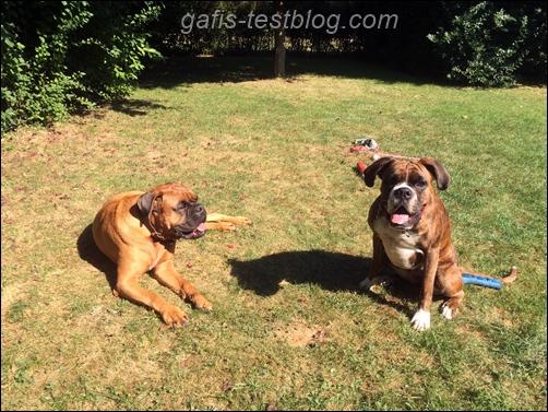 Boxer - Elvis und Amy im Garten