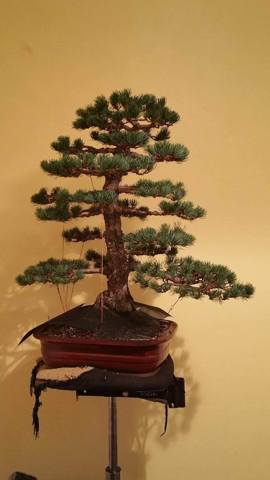 DJ BONSAI A Lovely Japanese White Pine Pt 2