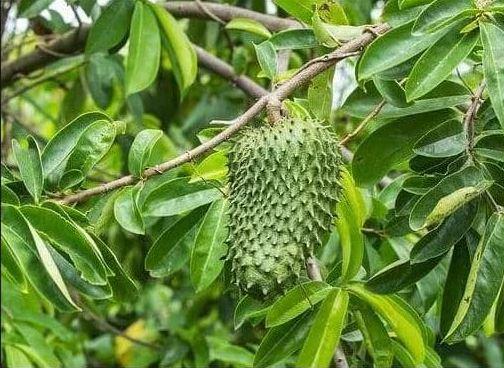 Manfaat daun sirsak bagi kesehatan tubuh manusia