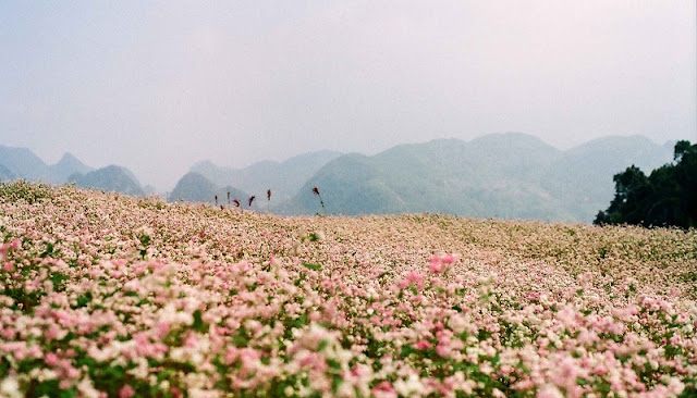Ha Giang - The fairy flower season