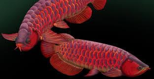 6 Jenis Makanan Terbaik Ikan Arwana Super Red Untuk Mempercerah Warna Merah