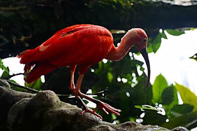 ibis scarlatto biosfera genova