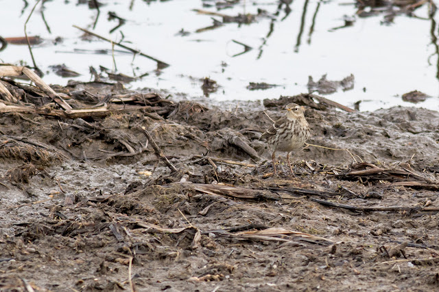 Water Pipit (looking left)