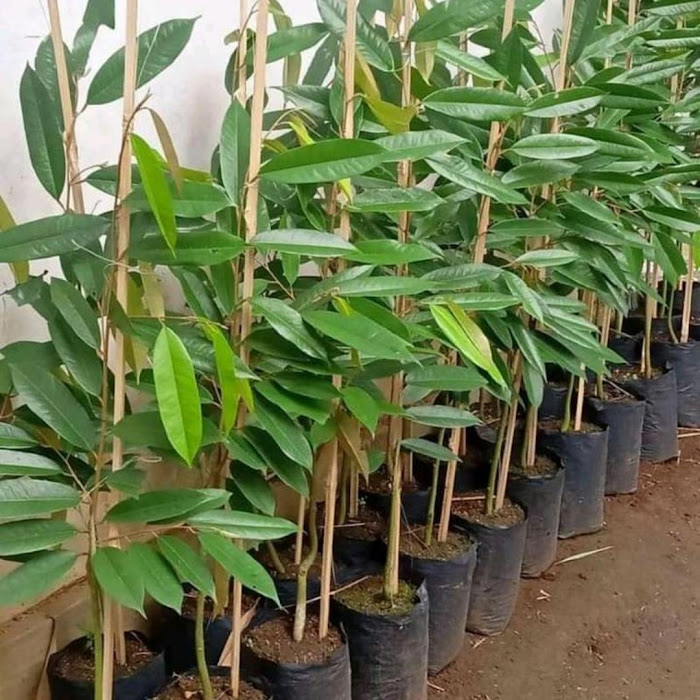 Bibit tanaman durian musangking hasil okulasi mudah berbuah Riau