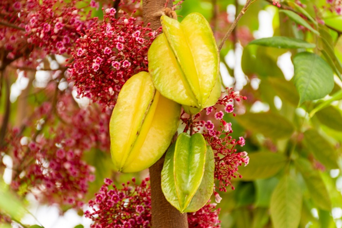 Star Fruit Can Kill Poisonous Symptoms