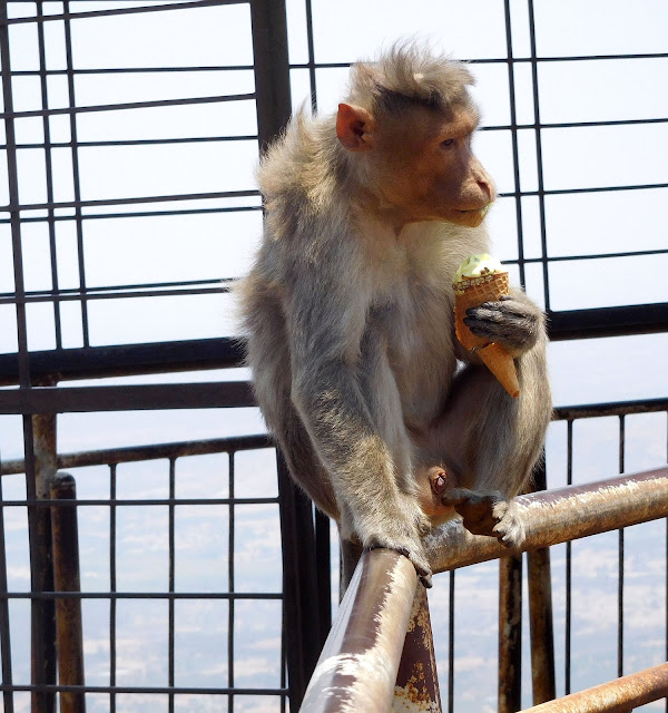 Monkey eating ice-cream, Nandi Hills