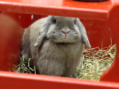 gray lop ear rabbit in a red box