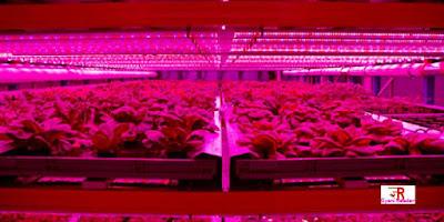 Artificial Pink Light Farm Technology, vertical farming, pink led grow light