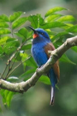 Abejaruco cabeza azul Merops muelleri