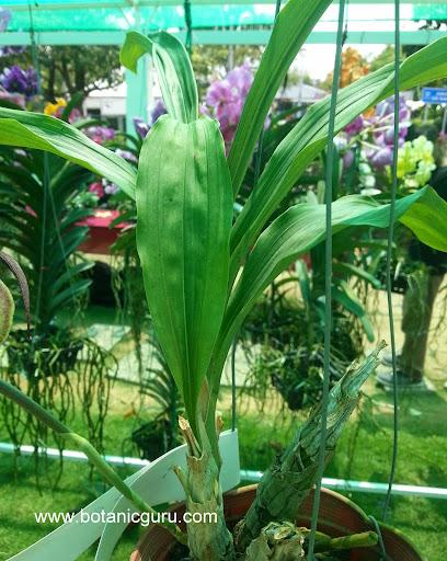Catasetum stupendum pseudobulbs and leaves