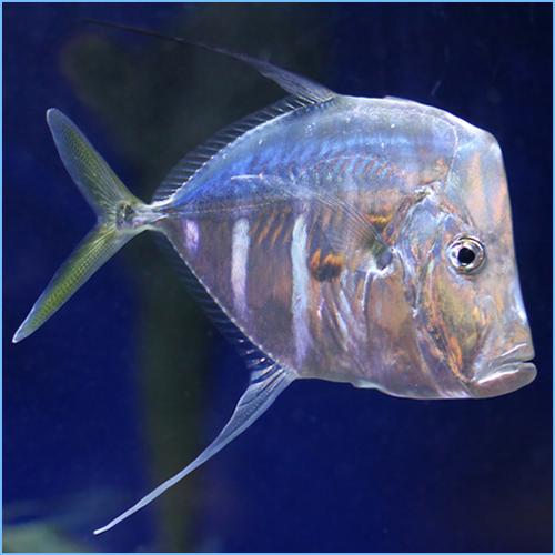 Peixe-Gato (Selene vomer)