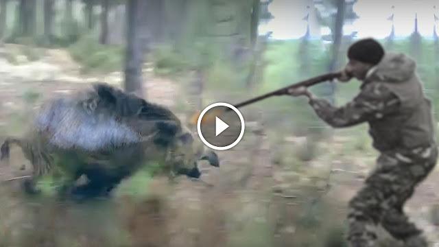 vidéo battue aux sangliers ( les meilleurs moments )