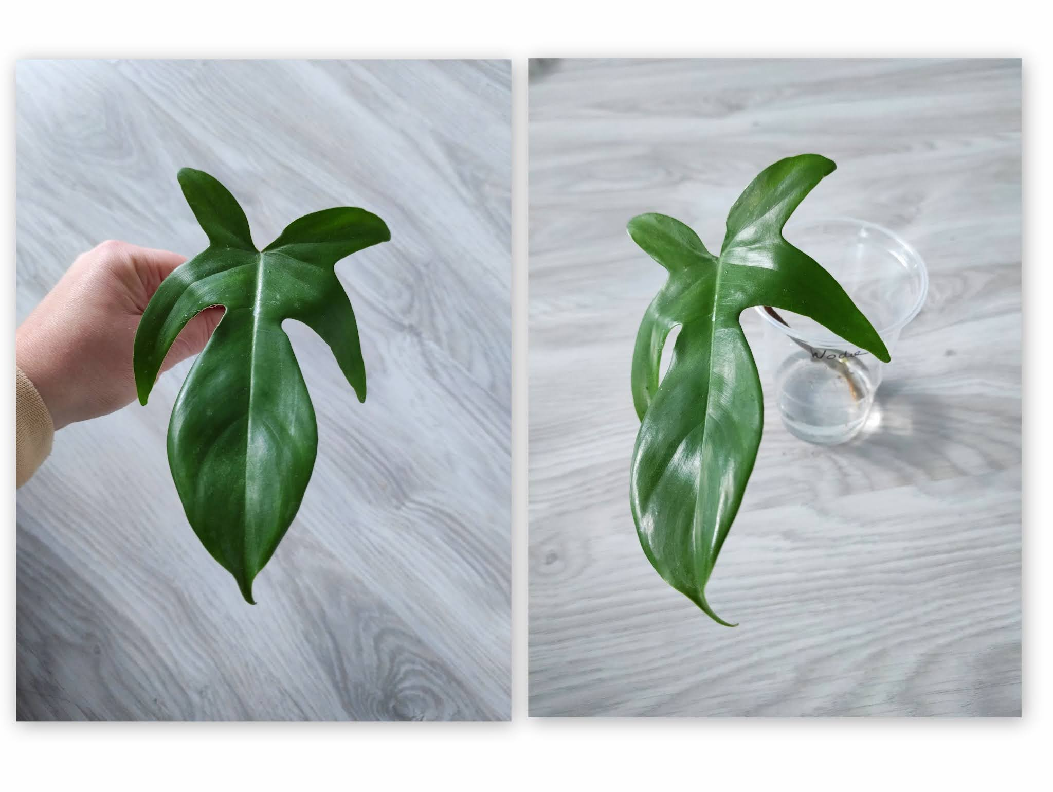 Philodendron Floryda Beauty