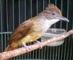 Burung Cucak Jenggot - PERAWATAN DAN SETINGAN BURUNG CUCAK JENGGOT PADA MASA MABUNG -  Penangkaran Burung Cucak Jenggot