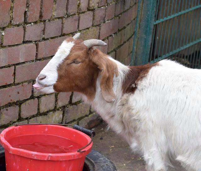 Goat sticking tongue out at Heaton Park animal centre
