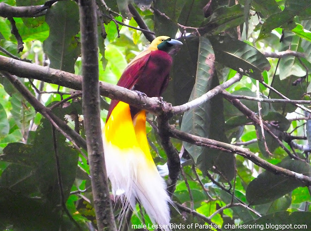 Birding Photography Tour in Sorong city of West Papua, Indonesia