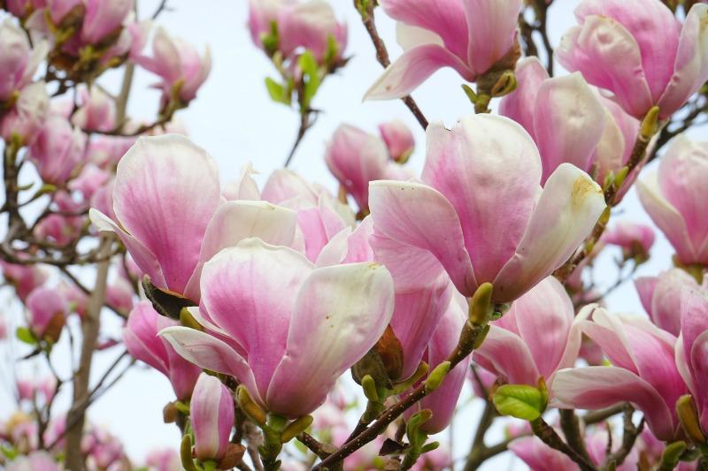 Magnolias guia de jardin for Vivero las magnolias