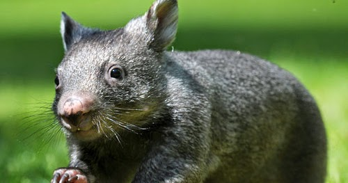 nosed southern wombats hairy