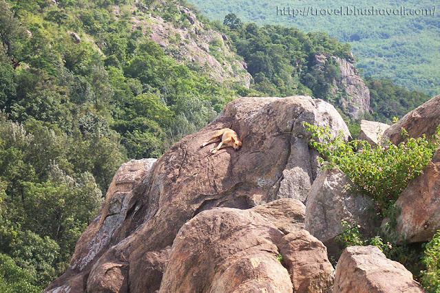Sleeping dog in Yercaud hills