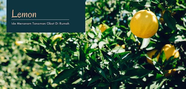 Lemon - Rekomendasi Tanaman Obat untuk Ditanam Dirumah