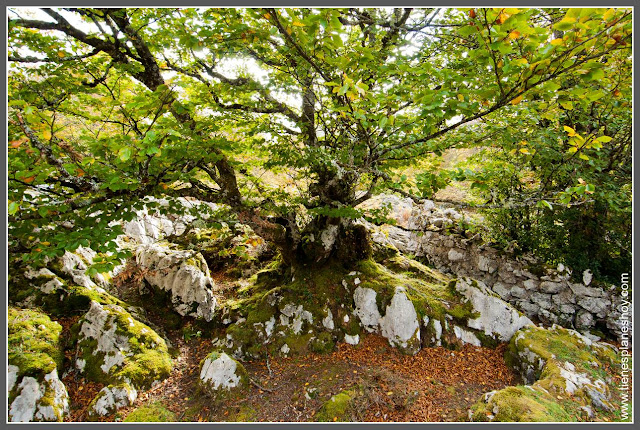 Lagos de Covadonga: Bosque Palomberu