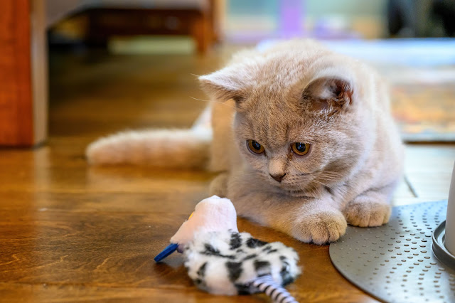 Jujube - Lilac British Shorthair kitten