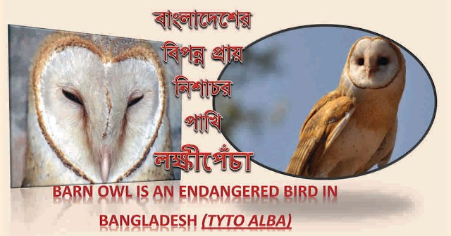 নিশাচর পাখি লক্ষ্মীপেঁচা (Barn Owl) Tyto alba