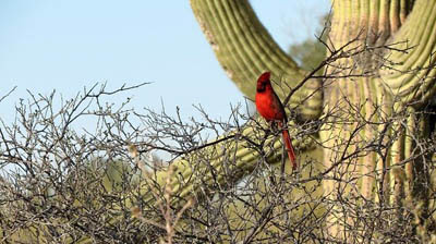 Photo of a Northern Cardinal with Saguaro cactus and brush