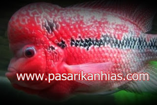 Type Ikan Hias Louhan indonesia SRD