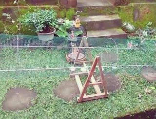 kandang umbaran untuk lovebird over birahi