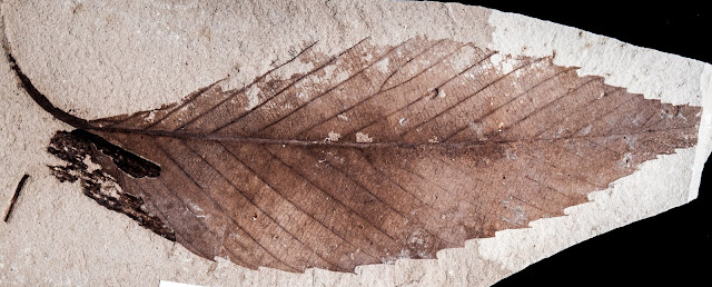 Argentine fossils take oak and beech family history far into Southern Hemisphere