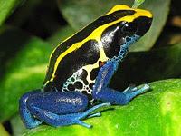 10 Spesies Katak Paling Beracun Di Dunia