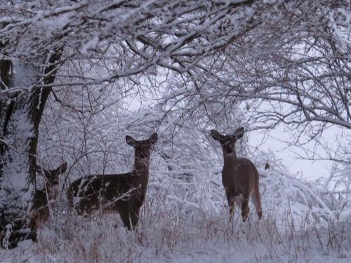 deer in snowy bower