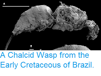 https://sciencythoughts.blogspot.com/2013/08/a-chalcid-wasp-from-early-cretaceous-of.html
