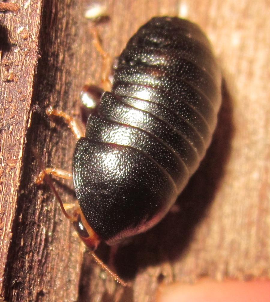 C.pygmaea%25233.JPG
